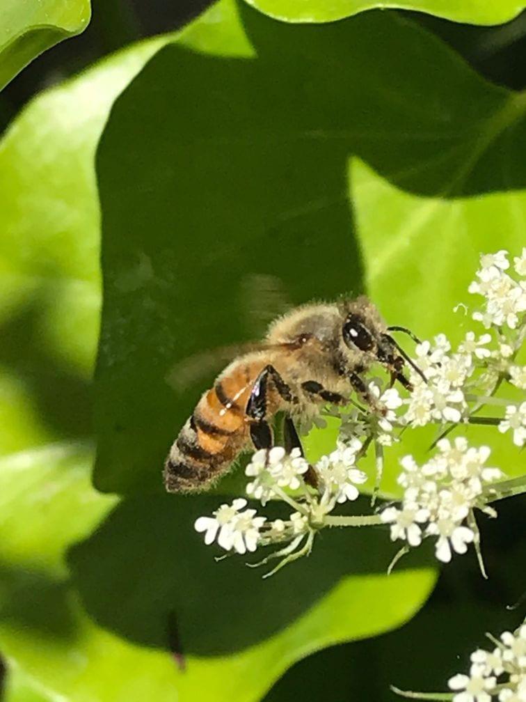 honingbij op wilde peen