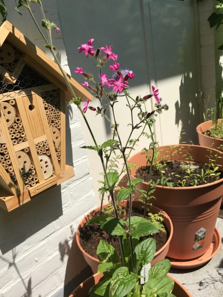 insectenhotel met dagkoekoeksbloem