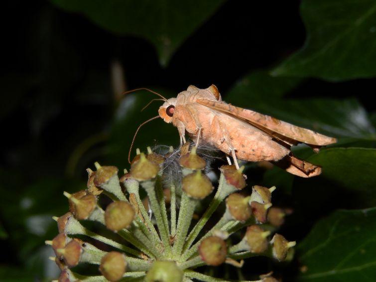 agaatvlinder op klimop